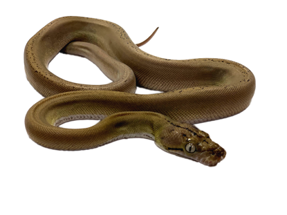 Picture of Anery Goldenchild Platinum Sunfire Reticulated Python